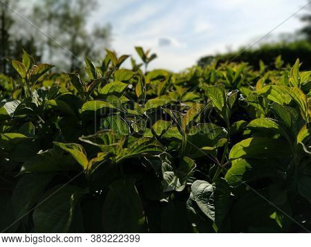 Green Plants Close-up With Backlight. Landscaping In The City Park. Partially Defocused