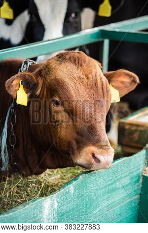 Selective Focus Of Brown Calf With Yellow Tags Near Manger With Hay In Cowshed