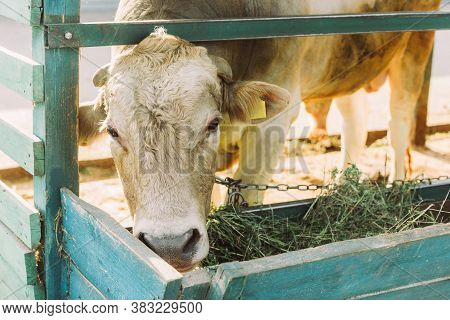 Brown Cow Eating Hay From Manger On Dairy Farm