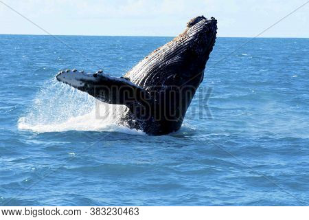 Caravelas, Bahia / Brazil - August 1, 2010: Fins Of Junbarte Whales Are Seen During A Tour To Spot A