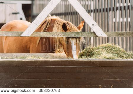 Brown Horse With White Spot On Head Eating Hay From Manger In Corral
