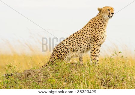 Female Cheetah