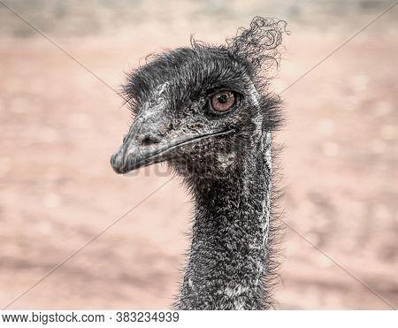 Close Up View Of Emu Head Australian Bird Dromaius Novaehollandiae