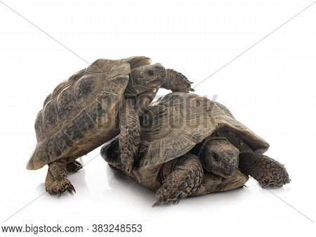 Greek Tortoises In Front Of White Background