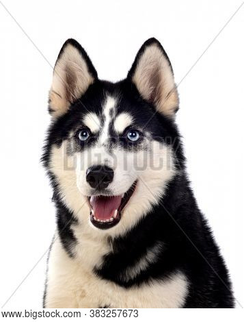 Portrait of a blue eyed Siberian Husky dog isolated on white background