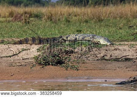 The Nile Crocodile (crocodylus Niloticus) Lying On The Shore Of A Large African River. A Large Croco