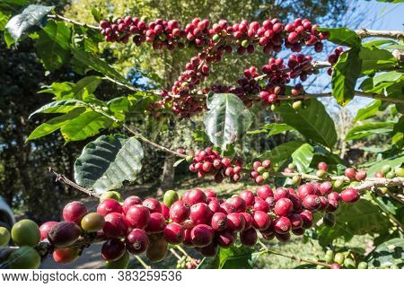Ripe And Raw Coffee Berries On Coffee Tree Branch In Coffee Plantation On Doi Chaang. One Of The Wor