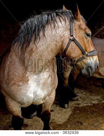 An Ardennes Heavy Horse