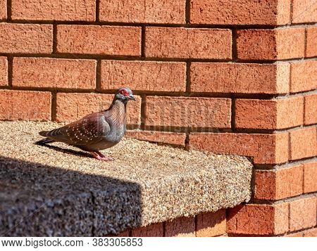 racing pigeon on the window edge on a red bricks building