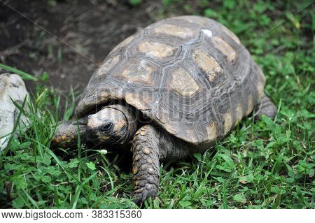 large Galapagos turtle on the grass in the park. Ecuador