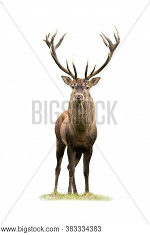 Curious Red Deer Stag Looking Into Camera Isolated On White Background