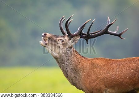Strong Red Deer Stag With Massive Antlers Roaring In Rutting Season