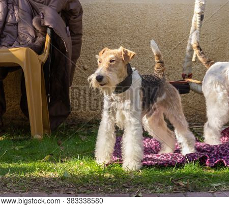 Acre, Israel, January 3, 2016 : A Dog At A Dog Festival - Competition In The City Of Ako In Northern