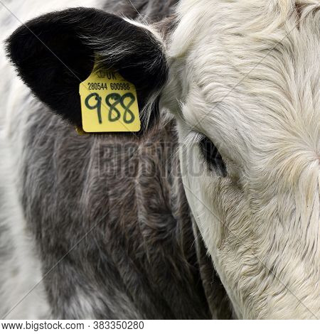 Cow Calf Close Up Of Face And Head With Its Livestock Cattle Tag Identification Number Attached To I