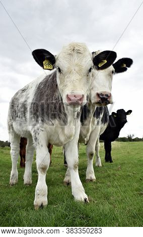 Cow Calf Tagged With Cattle Tag Stands With Its Mother Beside In Pastureland At A Uk Cattle Farm In