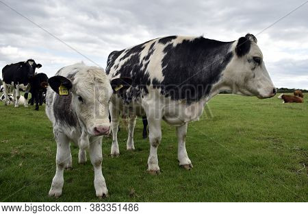 Cows - Mother And Calf With Cattle Identification Tags In Their Ears Stand Beside Each Other In Past