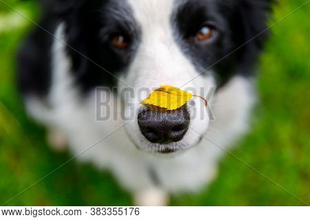 Outdoor Portrait Of Cute Funny Puppy Dog Border Collie With Yellow Fall Leaf On Nose Sitting In Autu
