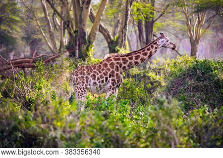 Travel to the Horn of Africa. The large picturesque giraffe grazes among the thickets of desert acacia. Kenia. African savannah on the shores of Lake Nakuru