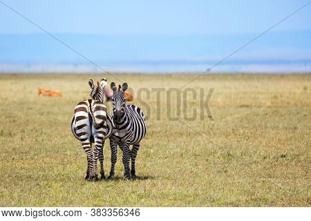 Charming symmetrical zebras graze together. Magnificent trip to the African savannah. Kenya in the spring. Ecological, active and phototourism concept