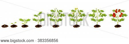 Tomato Stage Growth. Vector Planting Process Of Tomato From Seeds Sprout To Ripe Vegetable Illustrat