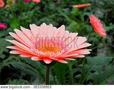 Nice Pink Gerber Flower In The Garden