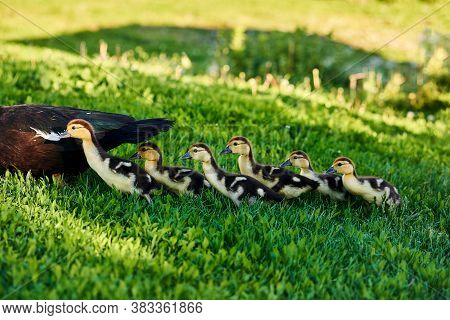 Duck With Ducklings Relax On Grass. Family Of Ducks, Mother Duck And Baby On Green Grass In Meadow,