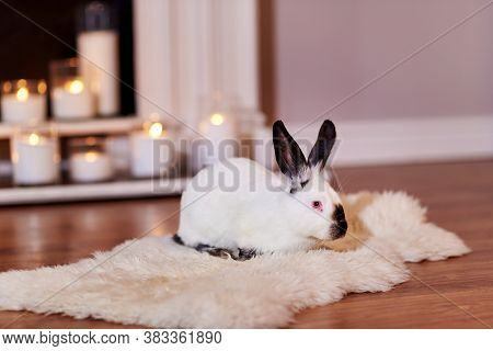 Beautiful Californian Rabbit Poses Indoors With Warm Back Light
