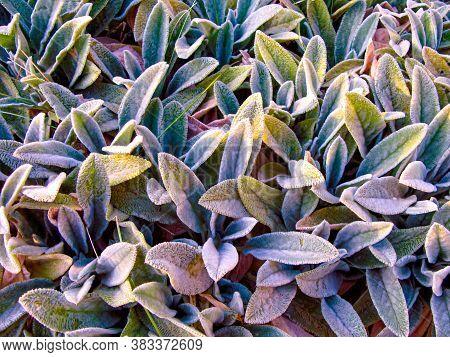 Lamb's Ears, Turkish Lamb's Ear, Stachys Byzantine (stachys Lamiaceae). Garden Plants Close-up. Gard