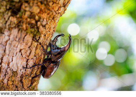 Dynastinae Or Rhinoceros Beetles Or Fighting Beetles On The Tree With Nature Blurred Background. Rhi