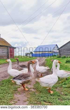 Rural Scene. White And Motley Geese Stand On The Road In The Siberian Village, Russia