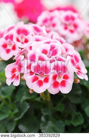 Pelargonium - Geranium Flowers Showing Their Lovely Petal Detail In The Garden With A Green Backgrou