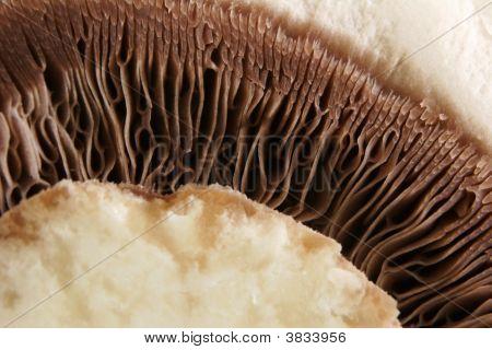 Closed-Cup Mushroom