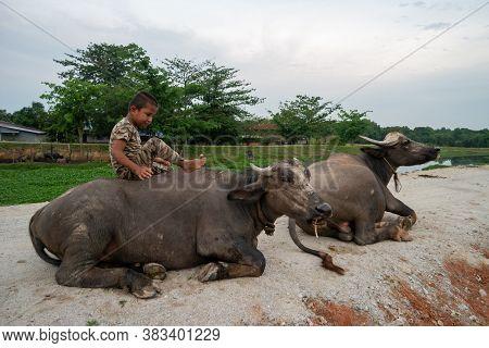Seberang Perai, Penang/malaysia - Jun 19 2018: A Kid Sit On Buffalo In Rural Area.