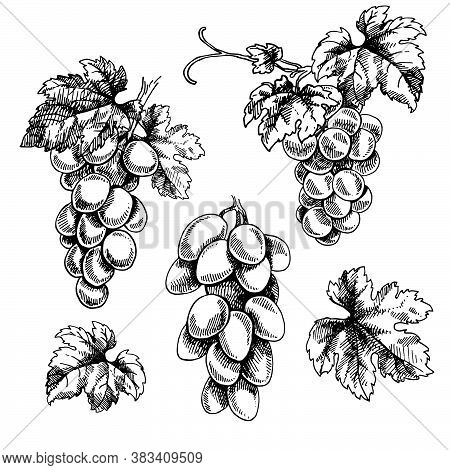 Set Of Hand Drawn Vector Illustration Of Grape Branches. Isolated Black Bunch Of Grapes, Grape Leave