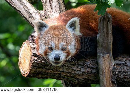 Red Panda On The Tree. Cute Panda Bear In Forest Habitat. Ailurus Fulgens