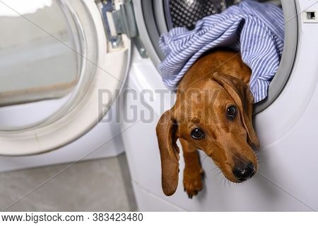 Dachshund Looks In Front Of Him Leaning Out Of The Washing Machine Lying Among The Clothes. A Ginger