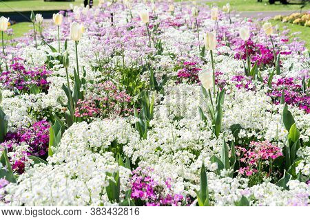 White Tulips In A Pink And White Flower Garden In Queens Park, Toowoomba During The Carnival Of Flow
