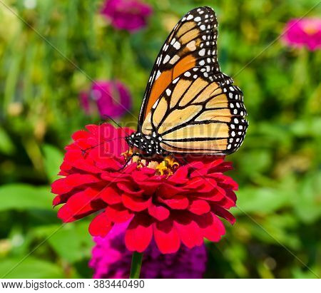 Monarch Butterfly Pollinating Flower In A Garden
