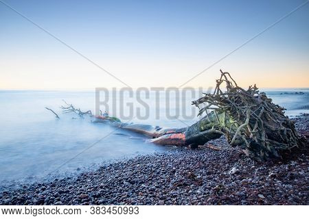 The Root Of The Tree Lies Near The Shore Against The Background Of Pebbles And Water. The Root Of Th