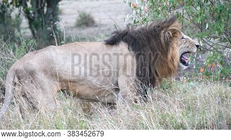Close Side View Of A Drooling Male Lion At Masai Mara