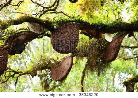 Beehive Hanging Over A Tree