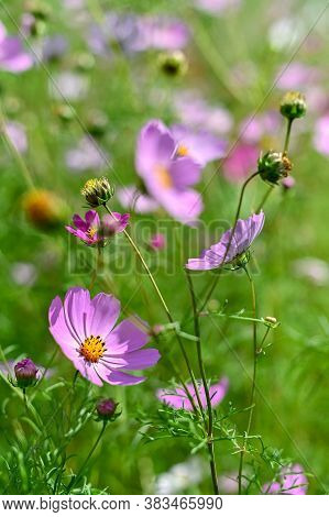 Pink Cosmos Bipinnatus Flowers Close-up Growing Under Sunlight Beautiful Abstract Natural Background