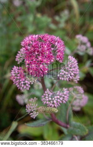 Hylotelephium Triphyllum Flower Or Sedum Stonecrop In Nature