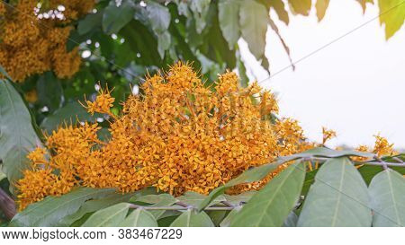 Bunches Of Golden Pettite Petals Of Yellow Saraca Or Yellow Ashoka, Is A Tropical Flowering Tree In