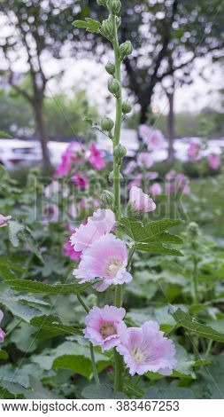 Beautiful Pink Petals Of Hollyhocks, Known As Alcea Is Flowering Plants In Mallow Family Malvaceae