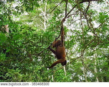 The Monkey In Amazon River, Peru, South America