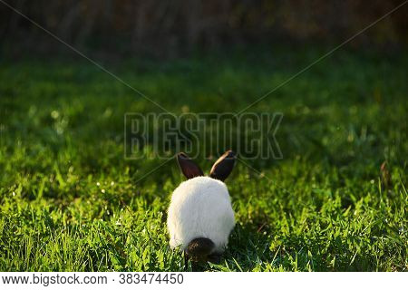Californian Rabbit Black And White Colour Sits With His Back. We Can See Cute Black Tail.