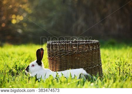Californian Breed Of Domestic Rabbit Lies In The Foreground Next To The Basket On The Lawn
