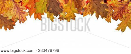 Oak Leaves With  Red, Orange And Brown Autumn Colors At The Top In Border And Above White Background