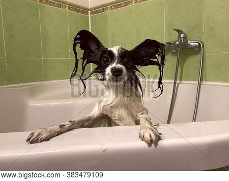 Portrait Of A Pet. Funny Photo Of A Wet Papillon Puppy In The Bathroom. Wet Little Dog Peeking Out O